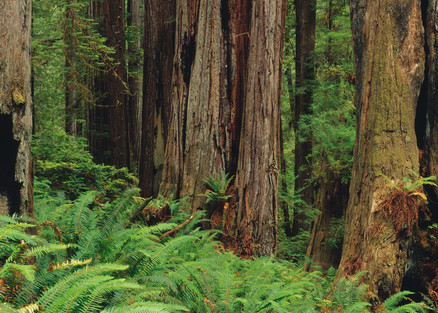 Fine are print of a Redwood forest