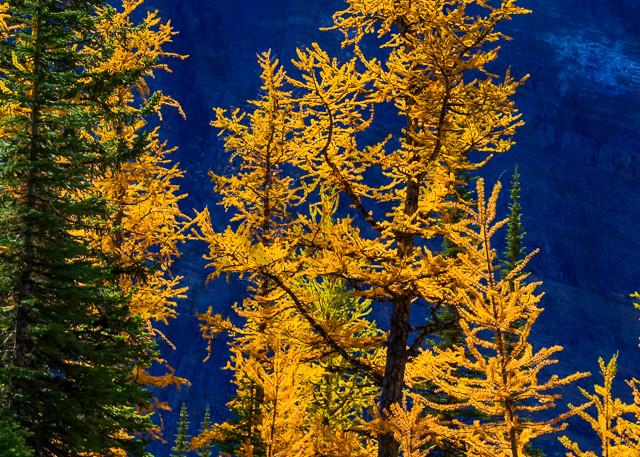 A Larch on Saddleback Mtn. Canadian Rockies|Banff National Park|Rocky Mountains|