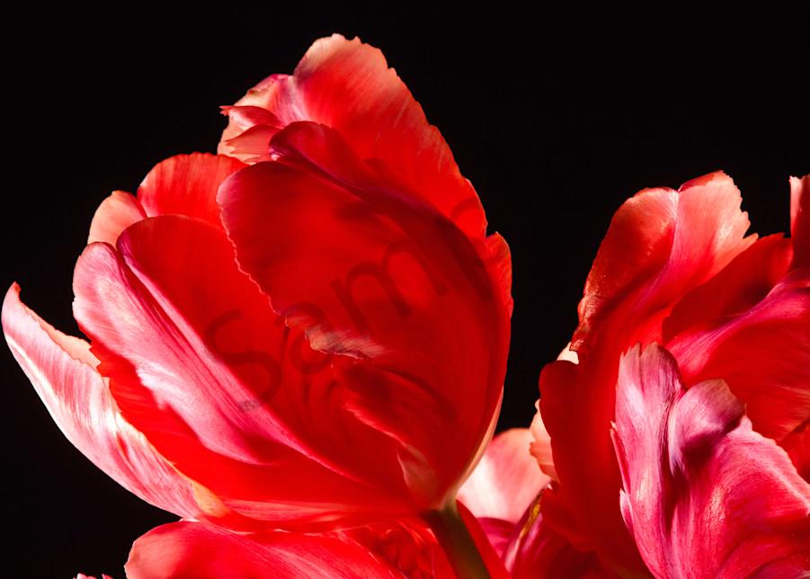 Parrot-Tulip-#5