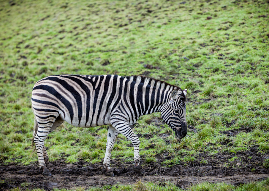 Zebra: Winston Wildlife Safari, Oregon - By Curt Peters