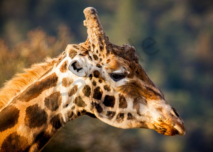 Giraffe : Winston Wildlife Safari, Oregon - By Curt Peters