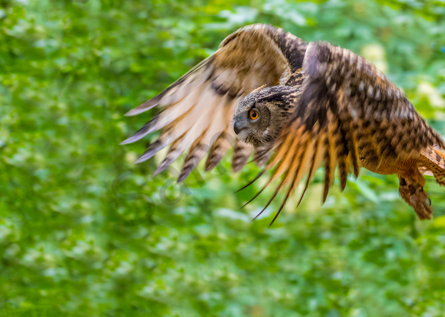 Owl In Flight 0453 Photography Art | Curtis Peters Photography