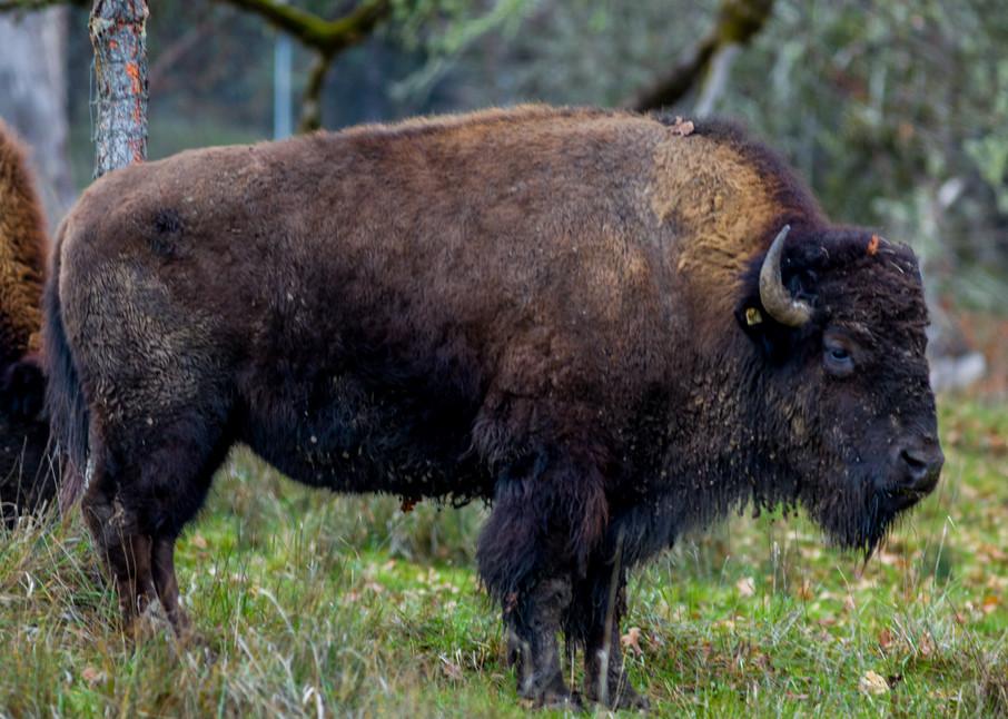 Grazing Bison : Winston Wildlife Safari, Oregon - By Curt Peters