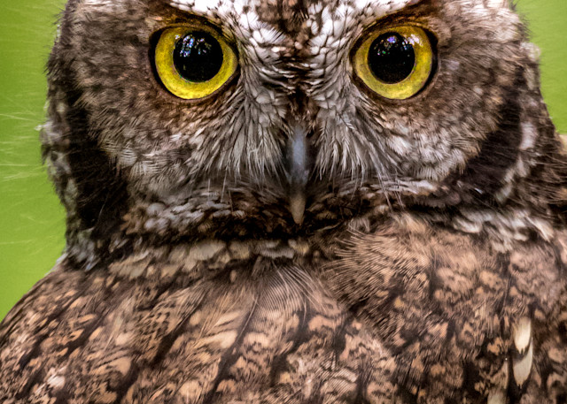 Horned Owl with giant eyes