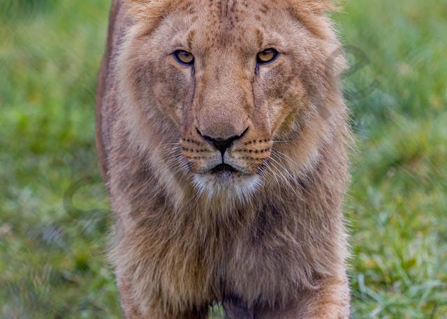 Lion : Winston Wildlife Safari, Oregon - By Curt Peters