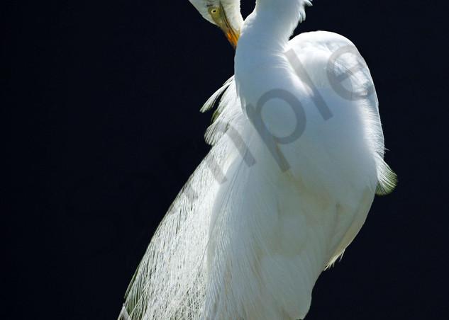 Moonlit Egret Photography Art   John Martell Photography