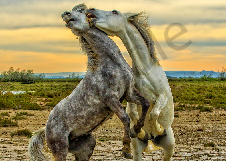 Dancing For Dominance Photography Art | John Martell Photography