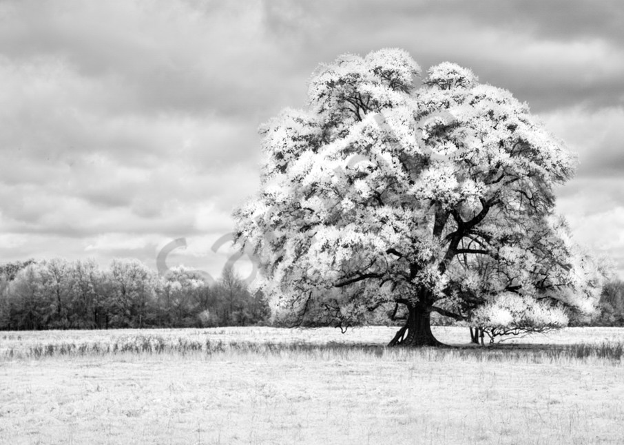 """""""Oaks Of Righteousness"""" by Harold Vincent 