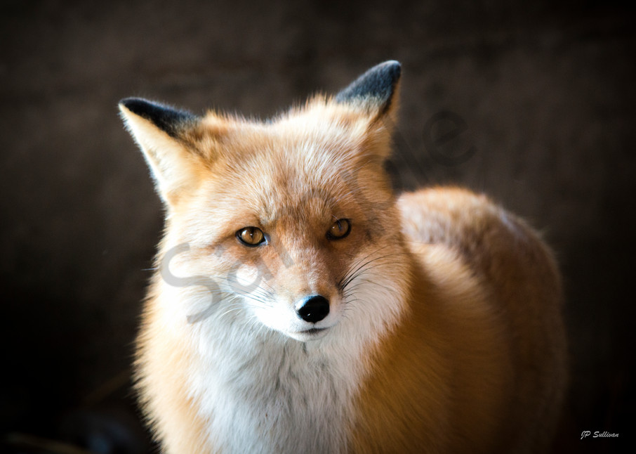 Foxy for a beautiful red fox - fine art photography prints - metal prints