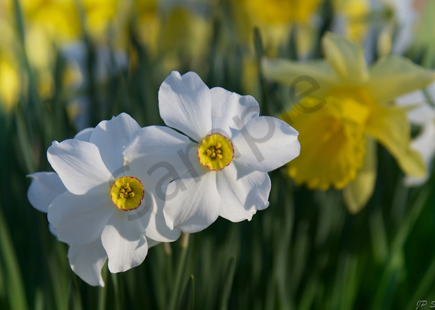 Spring Daffodils - Fine art wall prints - Photographs by JP Sullivan Photography