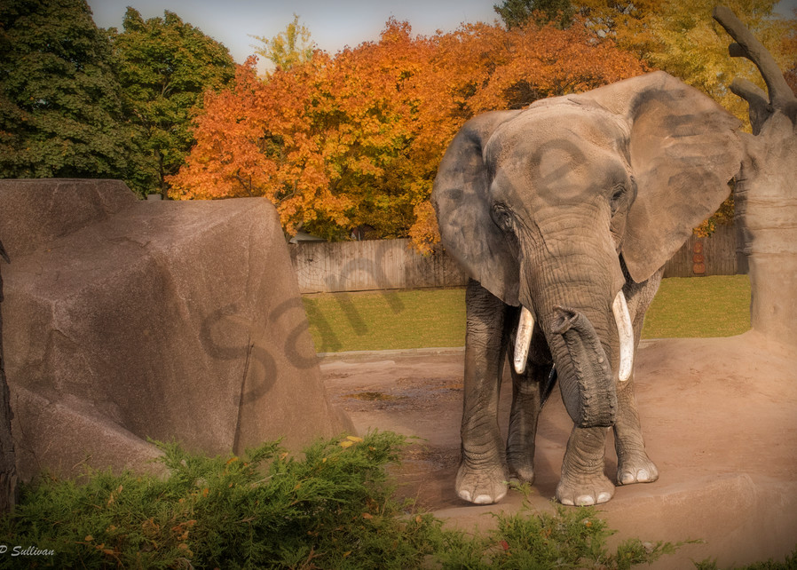 an African elephant in a fall setting