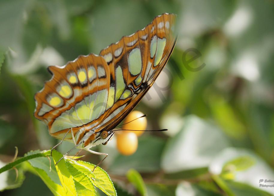 a colorful Malachite butterfly - JP Sullivan Photography fine art prints