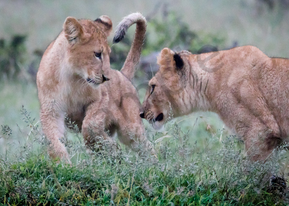 Lion Cubs Playing Photography Art | Barb Gonzalez Photography