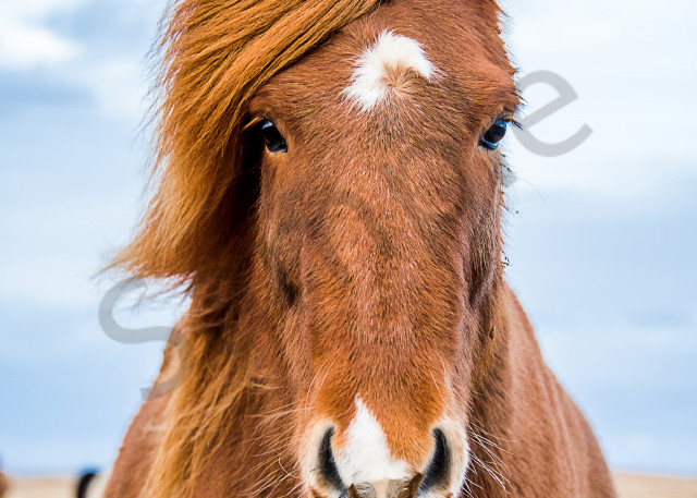 Iclandic horse model in fine art photograph print