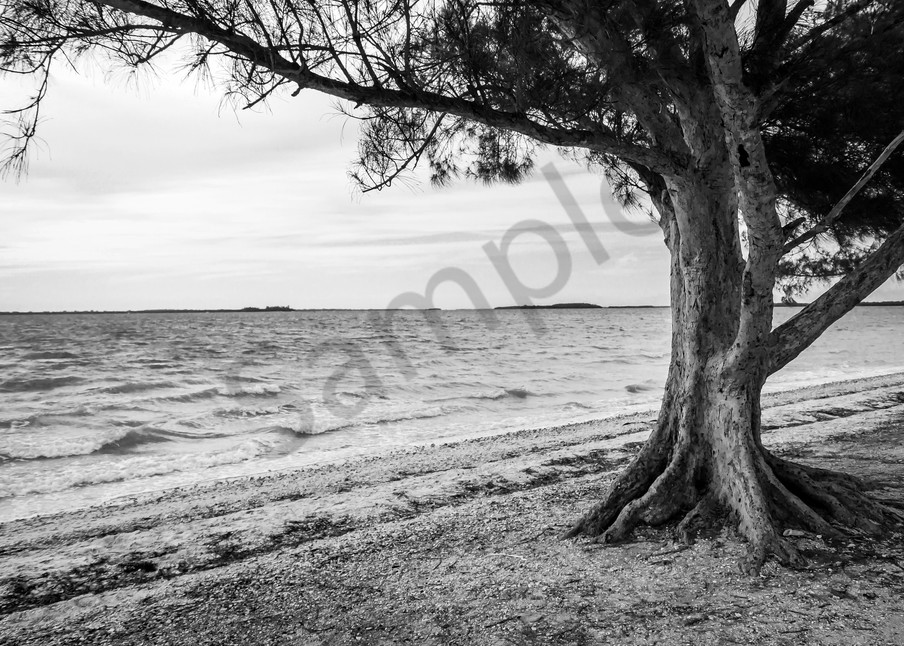 Beachy pine tree on Sanibel Island in black & white for sale as fine art from Sage & Balm