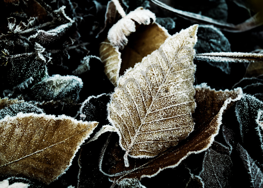 Frosted Beech Leaves Photography Art | Sage & Balm Photography