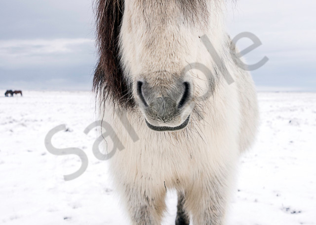 white Icelandic horse with dark gray mane facing camera, in a fine art photograph print