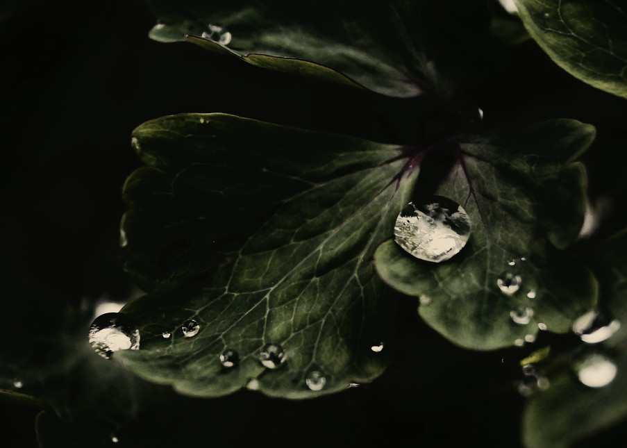 Drops On A Columbine Photography Art | Sage & Balm Photography