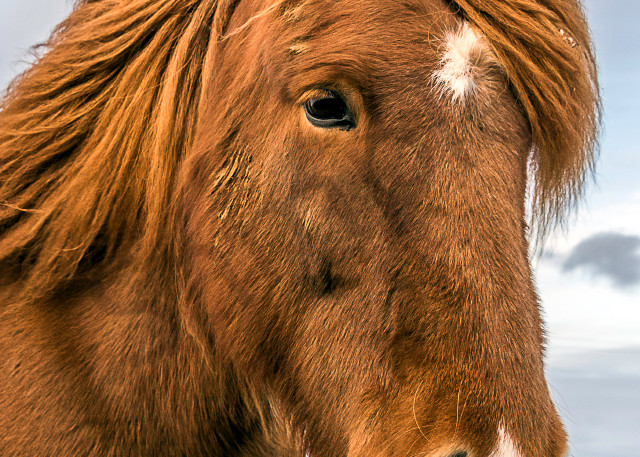 Fine art photograph of elegant looking brown Icelandic horse with flowing mane