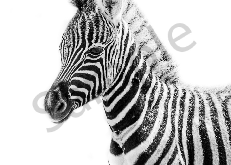 Baby zebra in black and white with white background art photograph