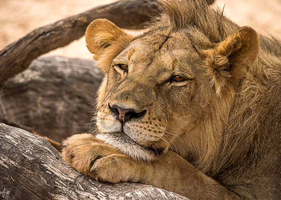 Young male lion with small mohawk leaning on his paw