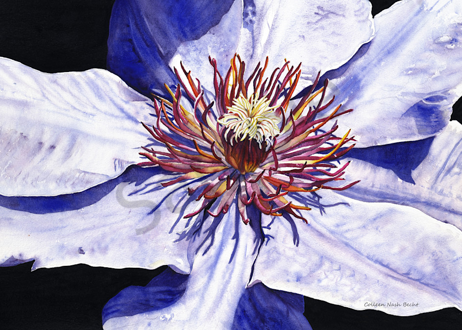 Purple Clematis Art | ColleenNashBecht