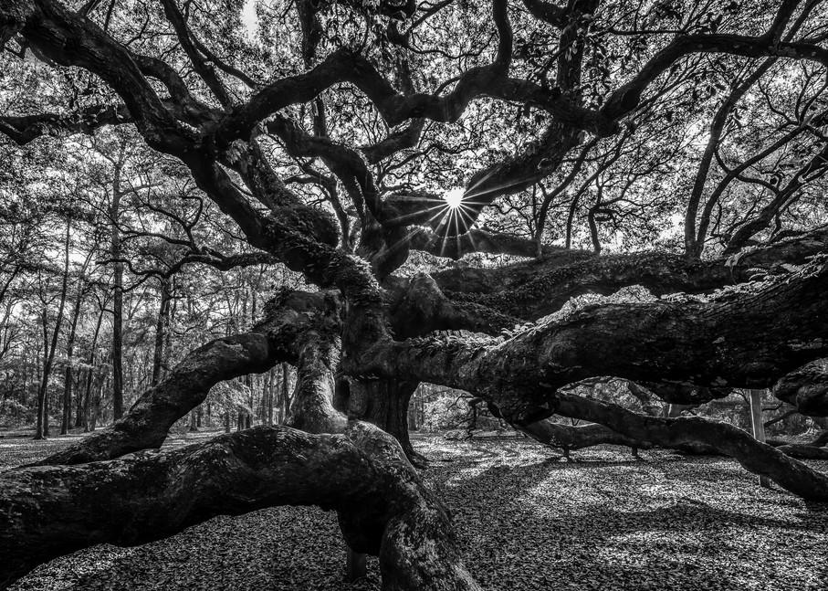 Historic Angel Oak Photograph for Sale as Fine Art