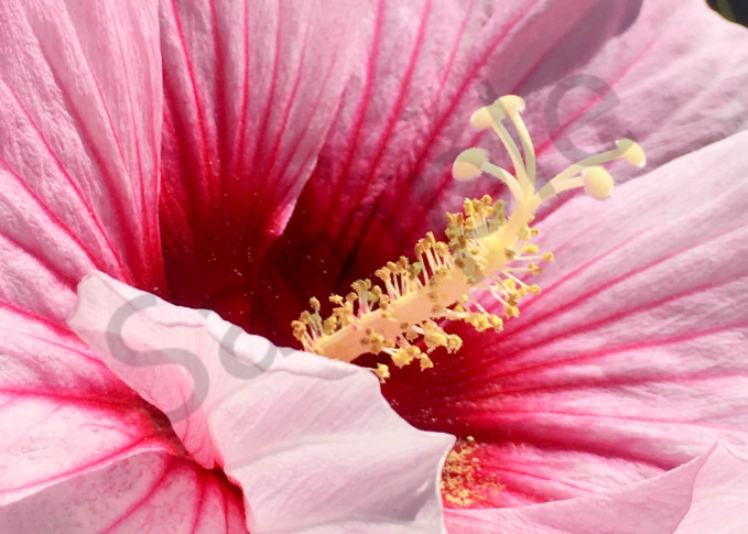 Hibiscus Photography Art | slgparrish