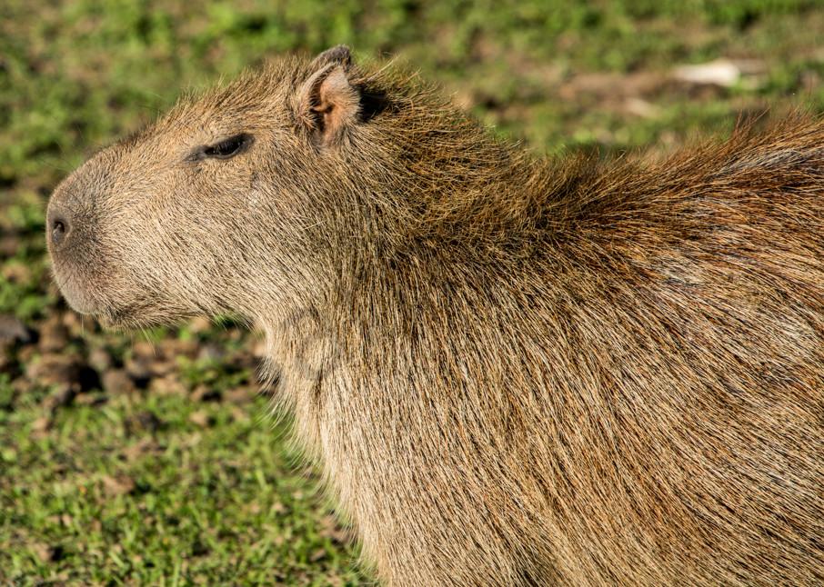 Capybara closeup profile