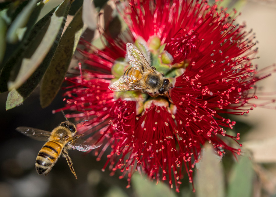bees pollinating - fine art photography