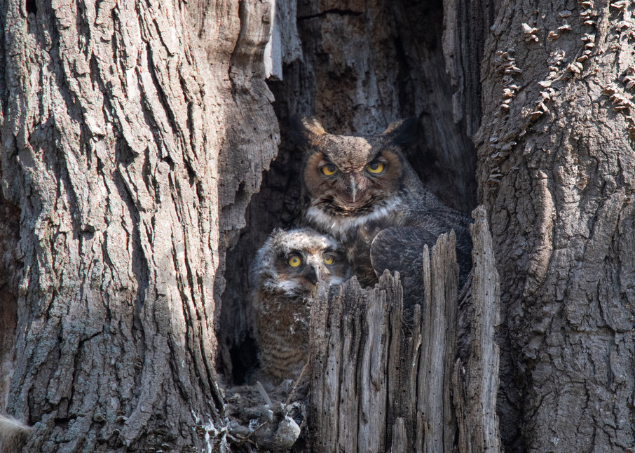 Mother and baby great horned owl posing in their tree house - nature - art - photography