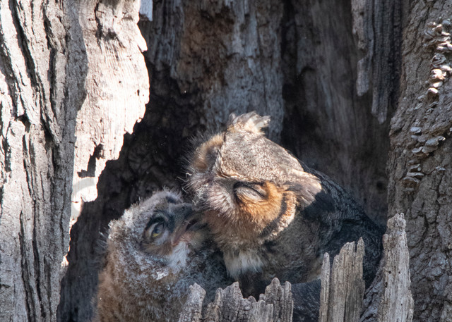 Great Horned Owl Kiss - fine art photography - nature