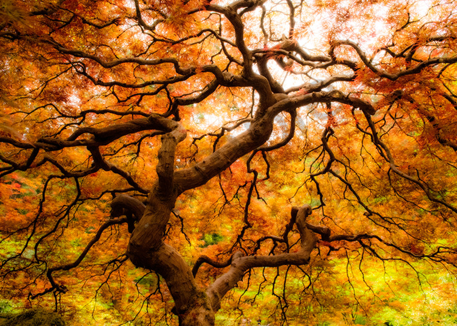 Another Japanese Maple bursting with color - fine art - photography - nature