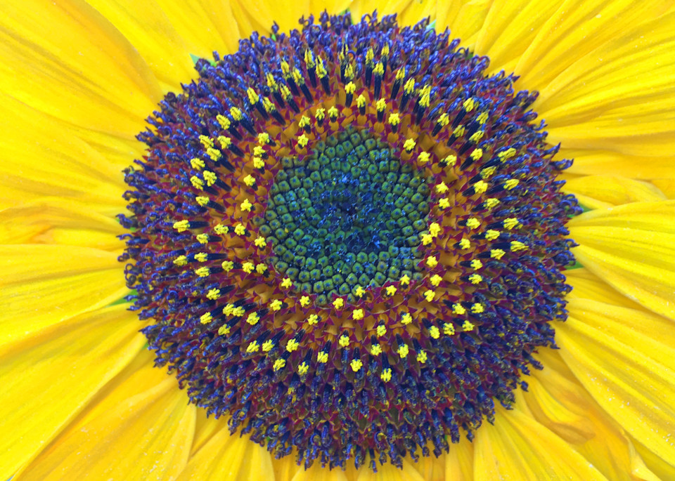 Summer Sunflower|Fine Art Photography by Todd Breitling|Flowers|Todd Breitling Art