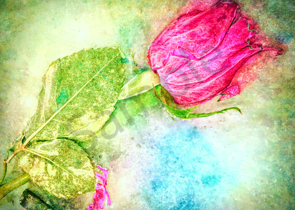 Frozen Rose|Fine Art Photography by Todd Breitling|Flowers|Todd Breitling Art