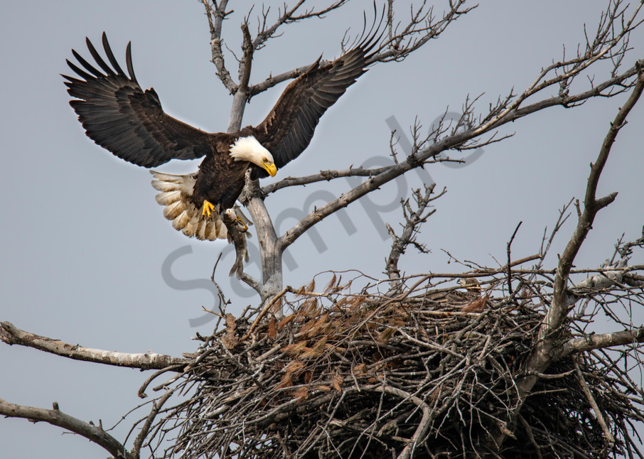 Bald Eagle flies in to the nest with lunch - fine art photography