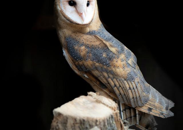 Barn Owl - Fine Art Photography - For Owl Lovers