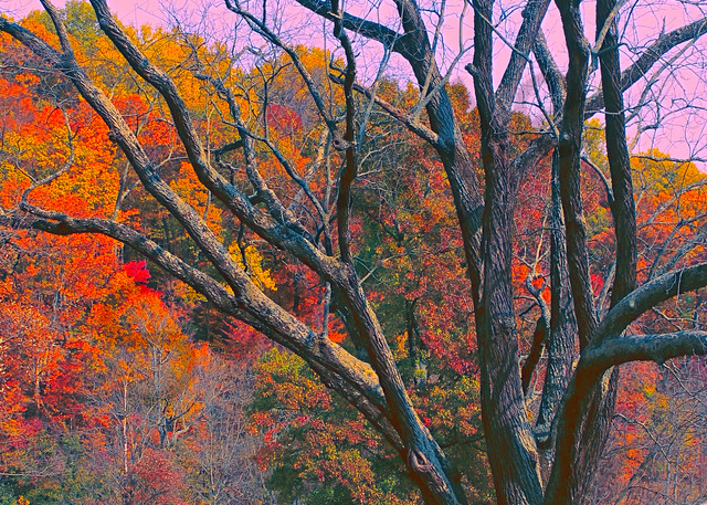 Old Tree Of Valley Forge|Fine Art Photography by Todd Breitling|Trees and Leaves|Todd Breitling Art