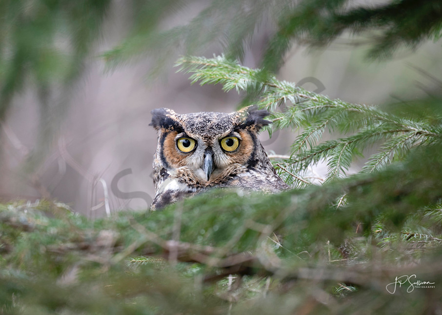 Great Horn Owl Peek - art - photography - wildlife and bird prints - metal and aluminum photography prints