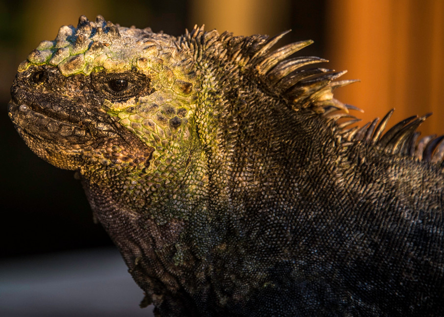 Marine iguana in profile