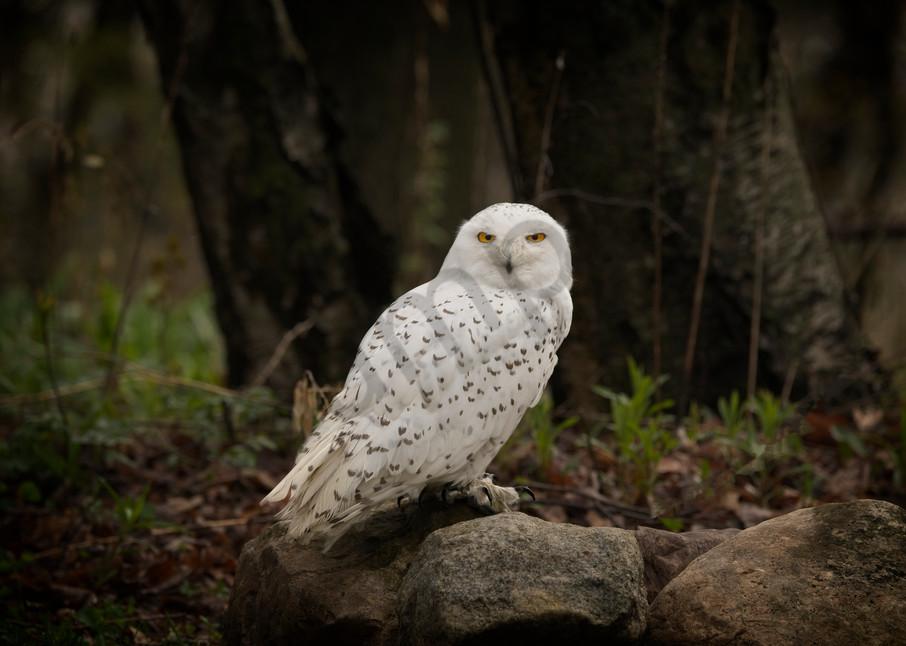 a beautiful snow owl portrait - fine art photography prints - owls and birds