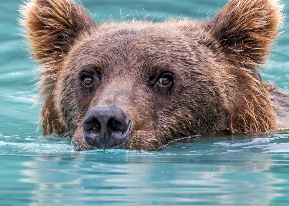 Swimming brown bear, square head shot