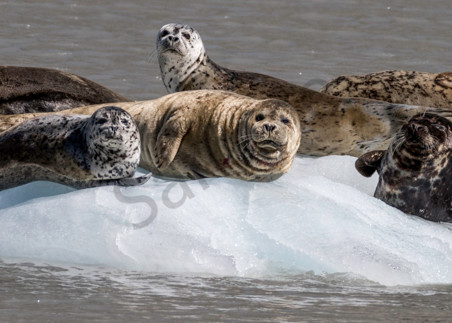 Harbor seals on glacial iceberg