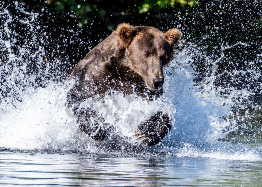 Large Alaskan brown bear hunting in water.