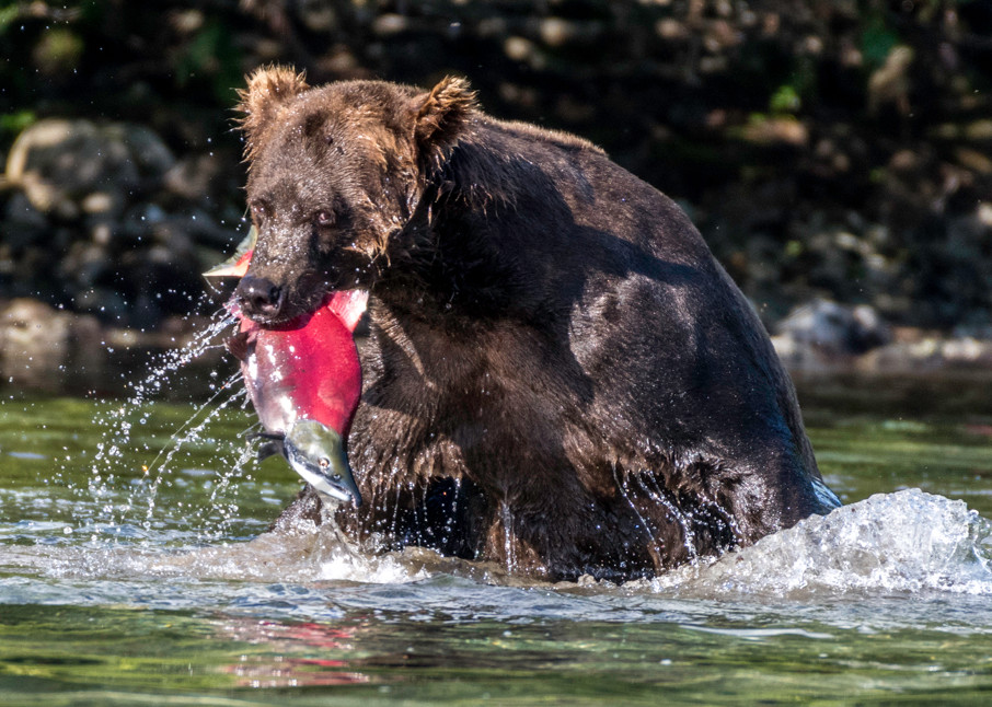 Brown bear with big salmon in his mouth