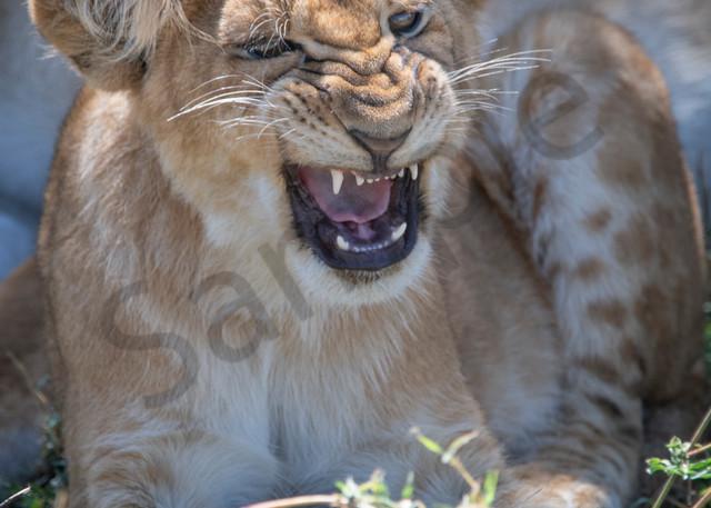 Lion Cub Roar - fine art photography - JP Sullivan