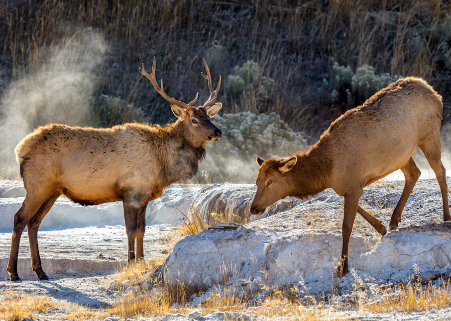 Elk Couple : Yellowstone, Wyoming - By Curt Peters