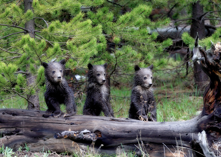 Grizzly Bear Cubs | Robbie George Photography