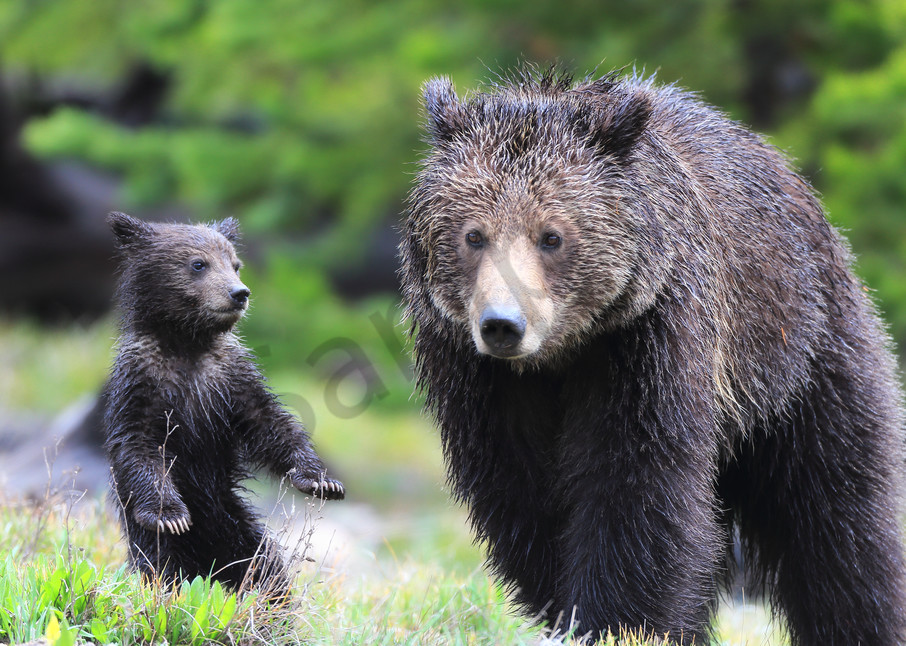 Baby Bear   Robbie George Photography