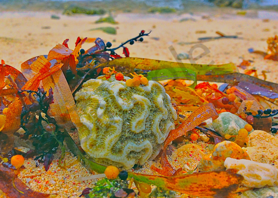 Coral on Beach|Fine Art Photography by Todd Breitling